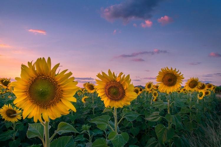 Kansas-Field-Sun-Flowers