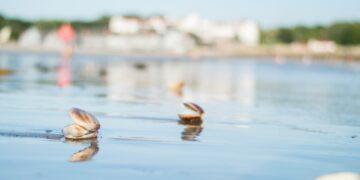 Clams-on-beach-Maine